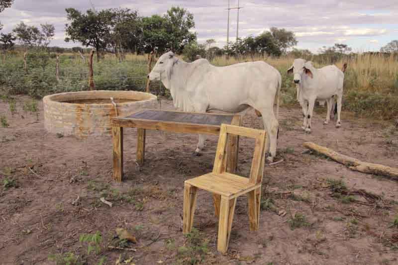 mucche con tavolo e sedia